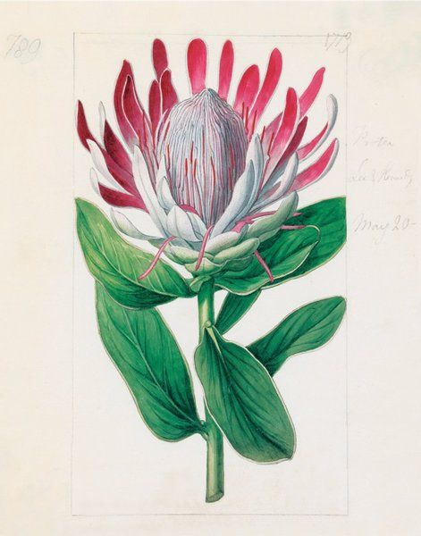 Protea formosa. 'Crown-Flowered Protea' Illustration by Sydenham Teast Edwards (1768-1819) for 'Curtis's Botanical Magazine'