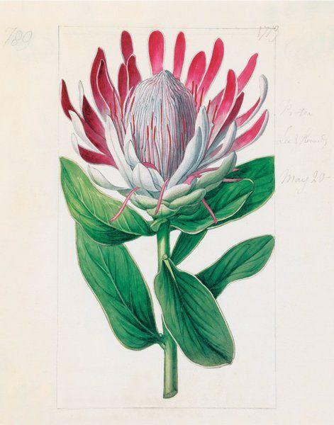 Protea formosa. 'Crown-Flowered Protea' Illustration by Sydenham Teast Edwards (1768-1819) for 'Curtis's Botanical Magazine'