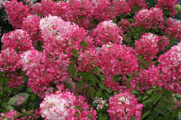 Buy hydrangea Hydrangea paniculata 'Diamant Rouge = 'Rendia'': Delivery by Crocus.co.uk