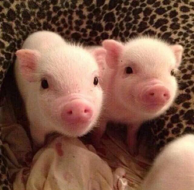 Quiero un cerdito para miiiiiiiiii!!!  Oing! Baby pig