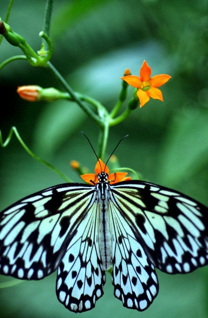 11 best butterflies images on pinterest butterflies for White paper butterflies