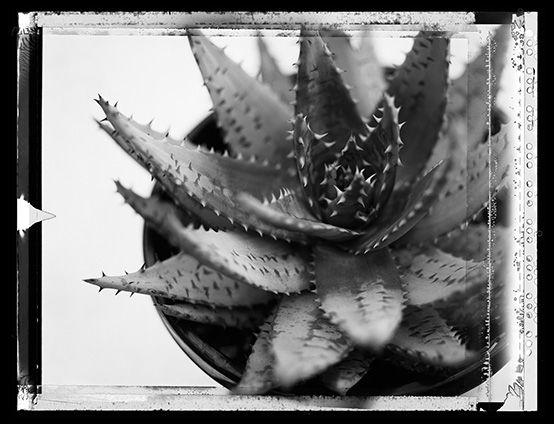 cactus on type 54 polaroid copyright Craig Arnold photography