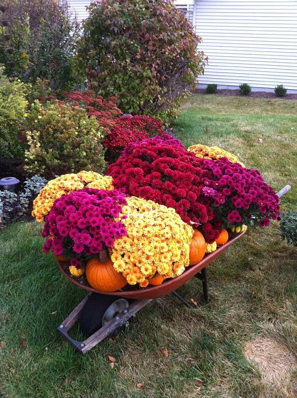 Wheelbarrow full of mums, pumpkins, and gourds in front of other blooming Fall plants. I pin things I love, this is one of them!!
