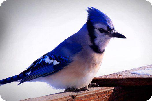 Animal symbolism: Symbolic Blue Jay Meaning