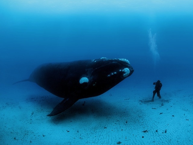 Curious creatures meet 70 feet deep off the remote Auckland Islands, 300 miles south of New Zealand. In these unfished waters, Brian Skerry photographs a diver encountering a southern right whale that may have never seen a human before. Photo credit: BRIAN SKERRY