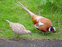 """Female (left) and Male (Right) Common Pheasant, illustrating the dramatic difference in both color and size between sexes"""