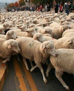 Sheep Parade in Cedar City, Utah Every year in October.