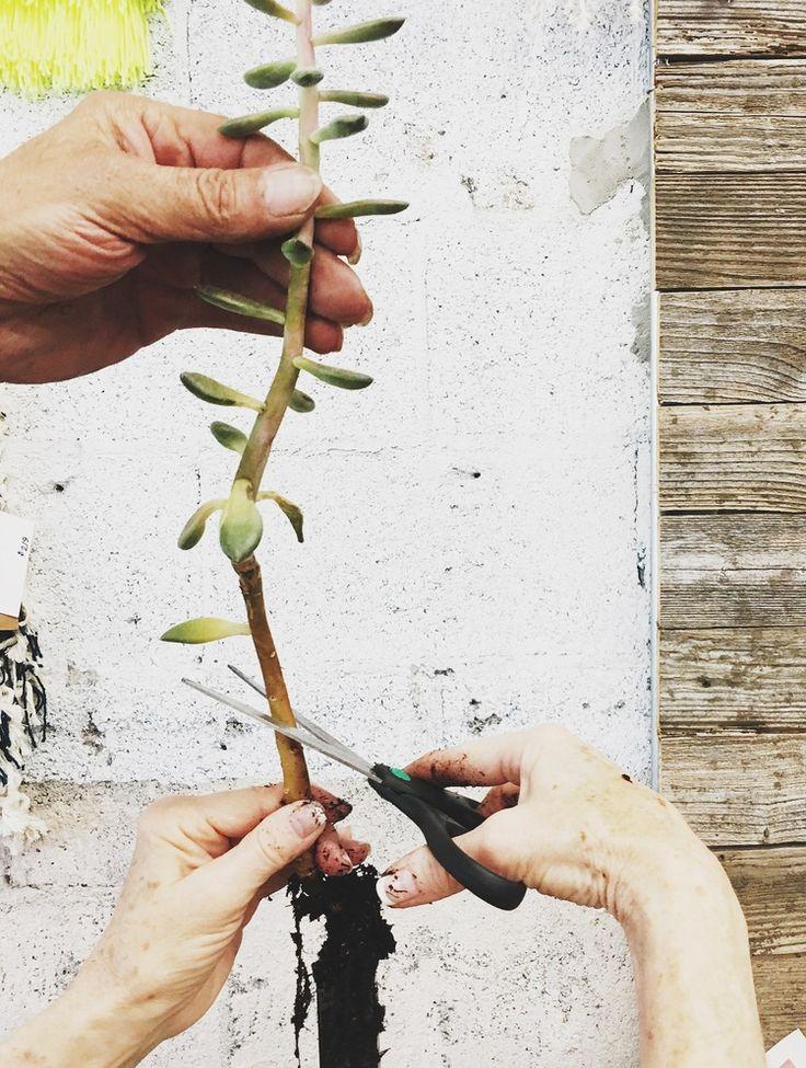 cuttingsucculent