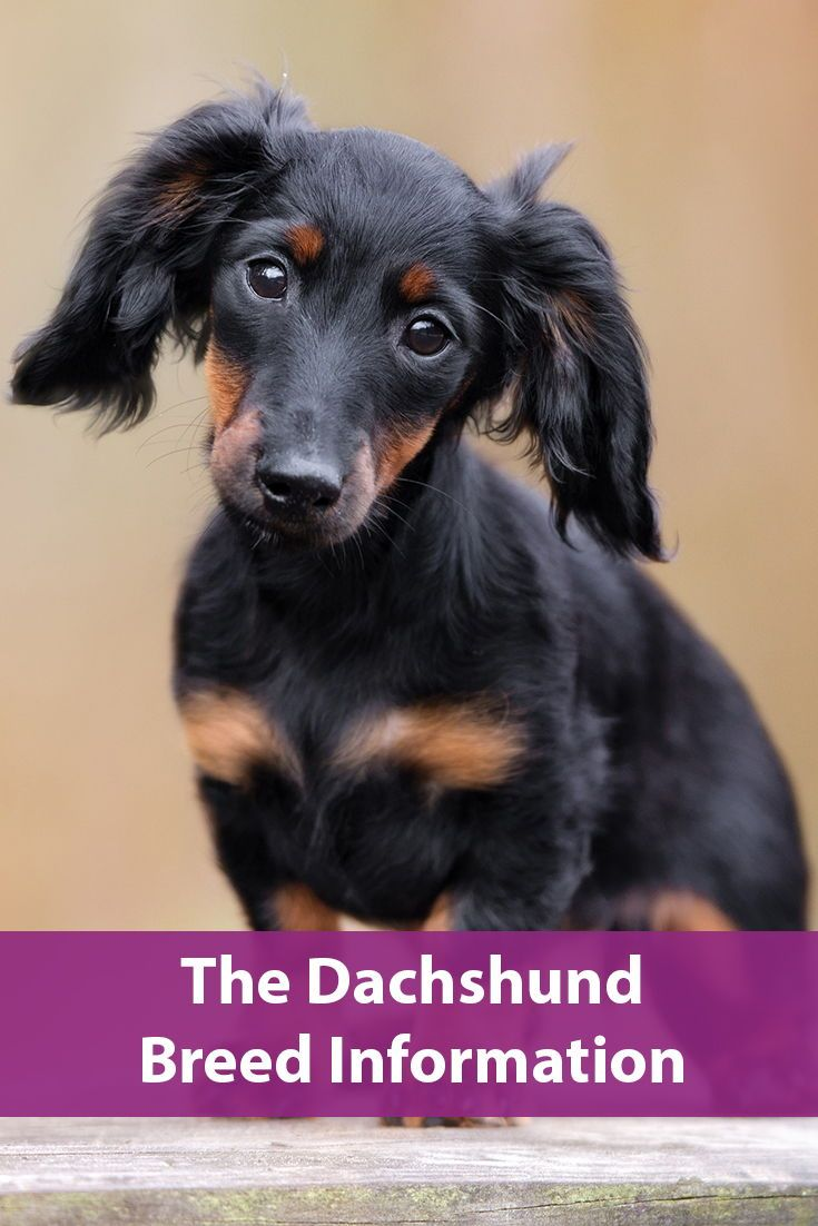 Dachshund Dog Breed Information Dachshund Breed Large Dog