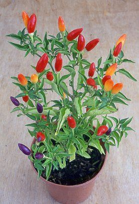 Chili Pepper Plants Make Great Home Decor As Well Colorful Gifts