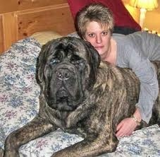 English Bull Mastiff--my future son pictured here with a strange lady.