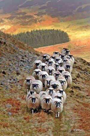 Hill sheep