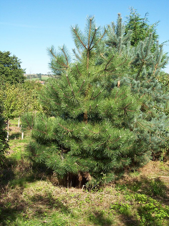 Evergreen Shrub: Austrian Pine - Pinus Nigra Austriaca