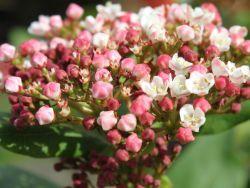 Lorbeer-Schneeball 'Gwenllian' - Viburnum tinus 'Gwenllian'