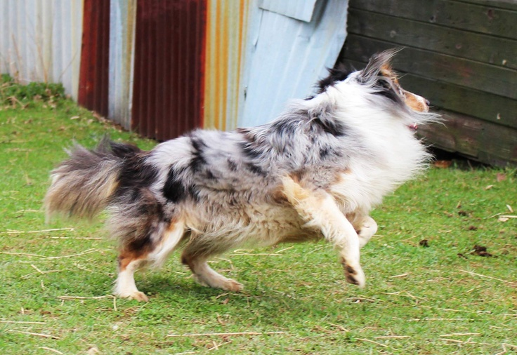 crazy sheltie