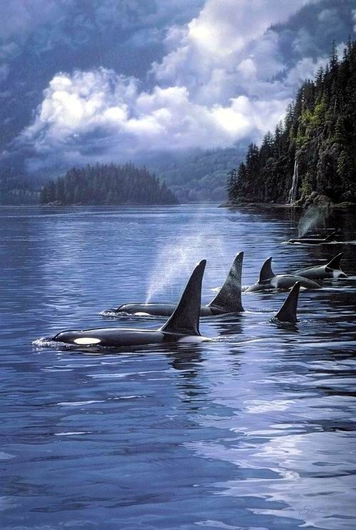"Orcas. We have a ""superpod"" of orcas swimming around the San Juan Islands, north of Seattle-this scenery looks about right...."
