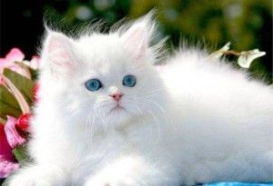 White Cat Breeds With Pictures