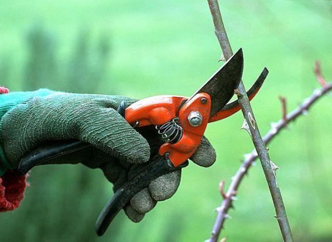 Les 12 meilleures images du tableau les rosiers sur pinterest les rosiers plantes et astuce - Quand tailler les rosiers buisson ...