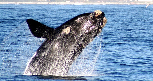 #Whalewatching in #Hermanus - Hermanus has been acknowledged by the World Wide Fund for Nature (WWF) as one of the twelve best whale viewing sites in the world. Read more ...
