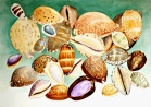 Cowries of the Seychelles  45x60cm. watercolor