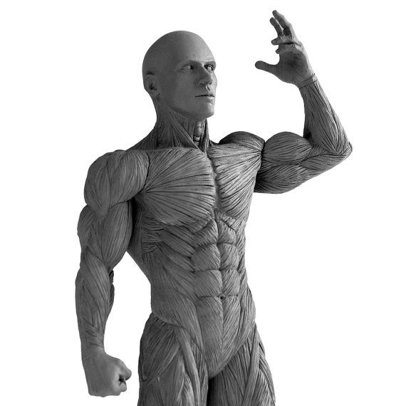 Artist's Anatomy Male Anatomical Model 2.0 by artistsanatomy, $180.00