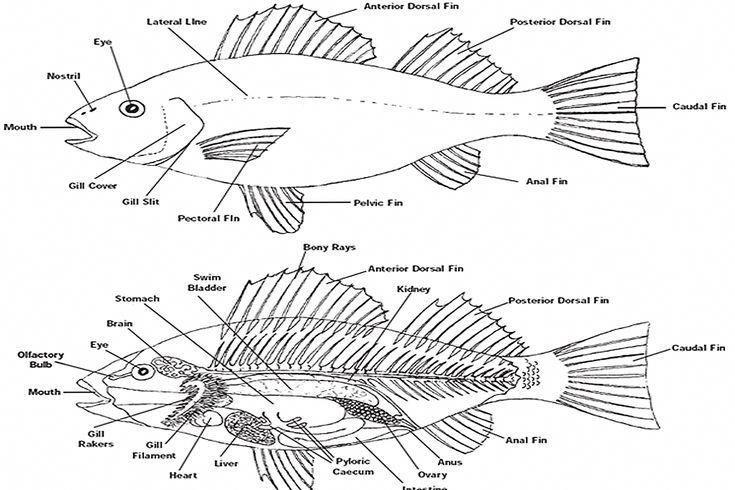 [DIAGRAM] Fish Organ Diagram