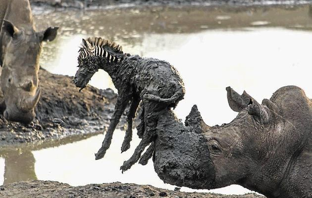 A rhino saving a baby zebra which was stuck in the mud - animal kingdom shows us true compassion. !!