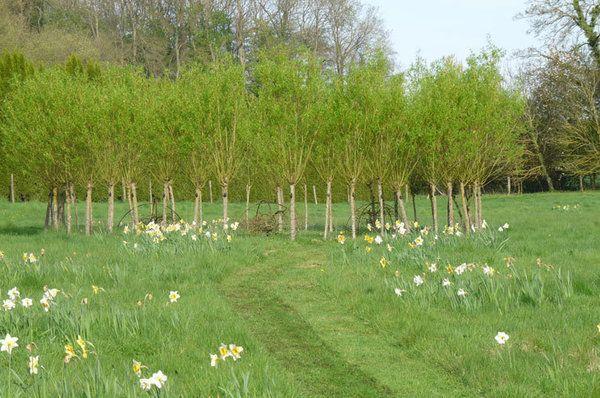 Le cercle de saule protégeant trois « Faux de verzy », qui, on ne sait pourquoi, poussent de façon tortueuse dans les jardins de Séricourt.