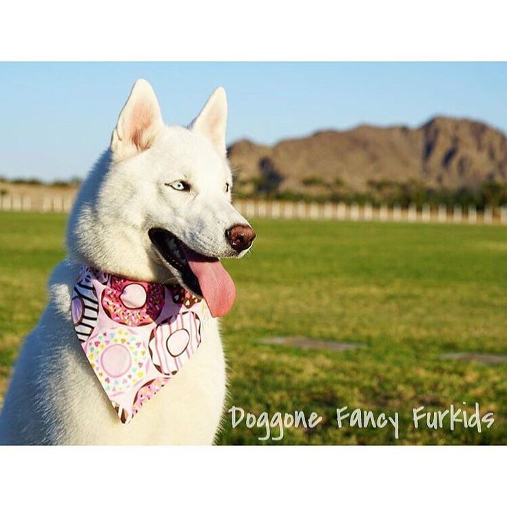 Bandana: 'Donut You Love My Bandana' Shop link in bio!  Photo Credit: @2kutehuskies  #doggonefancyfurkids #gsd #germanshepherd #husky #siberianhusky #pitbull #labrador #goldenretriever #goldendoodle #frenchie #yorkie #maltese #morkie #aussie #dalmatian #akita #dog #puppy #dogstagram #instadog #dogoftheday  #dogaccessories #dogbowtie #dogbandana #dogcollar #etsy #etsyshop #etsyseller by doggonefancyfurkids