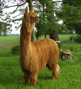 North American Suri Company to buy alpaca wool