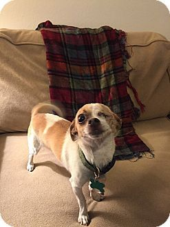 Los Angeles, CA - Chihuahua Mix. Meet Patches-2YRS-WATCH-VIDEO!, a dog for adoption.…