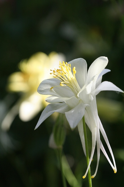 creme and white columbine