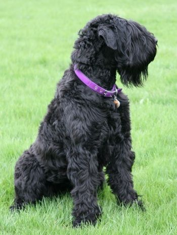 Black Russian Terrier. They are members of the working group. They are great protection dogs. They stand at 26-30 inches at the shoulder and weigh about 100-130 pounds.