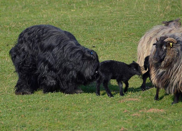 Charlie and lambs