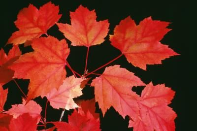 Red maple (Acer rubrum L.) is easily propagated from seeds or a shoot taken from a red maple stump. The trees produce large quantities of seeds during late spring and early summer that require little ...