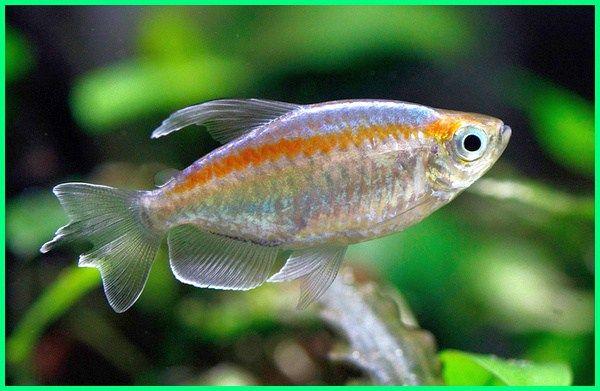 Cara Merawat Ikan Hias Congo Tetra Dunia Fauna Hewan Binatang Tumbuhan Binatang Hewan Ikan Air Tawar
