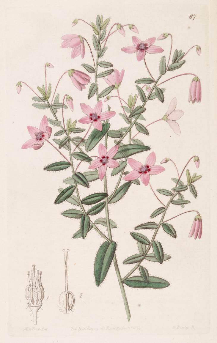 v. 30 (1844) - Edwards's botanical register. - Biodiversity Heritage Library