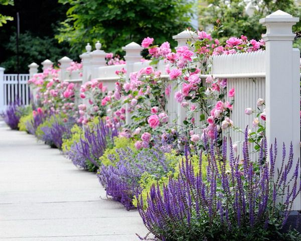 with lavender, salvia,  roses and alchemilla mollis against a white fence