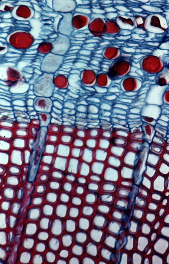 Pine (Pinus) stem cross section with tannin cells in phloem