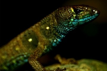 New Colorful Lizard Surprises Scientists in Andes