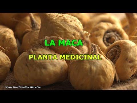La Raiz de la Maca - Maca Peruana Beneficios de la Raiz de Maca - YouTube                                                                                                                                                                                 Más