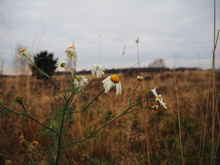 The late autumn flower