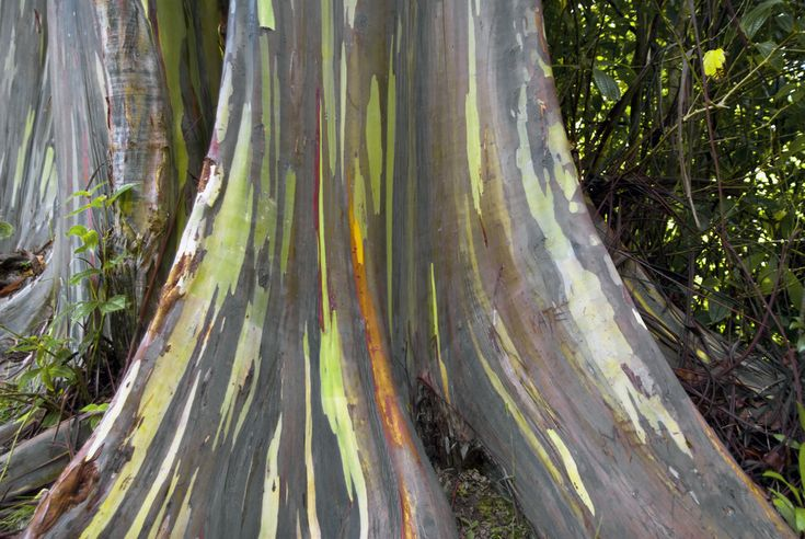 Rainbow eucalyptus trees; Kailua, Hawaii (among other locations) | 18 Amazing And Surreal Natural Phenomena That Occur On Earth