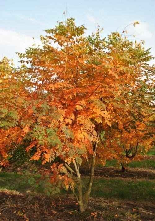 Koelreuteria paniculata #tree #autumn #colours www.vdberk.co.uk