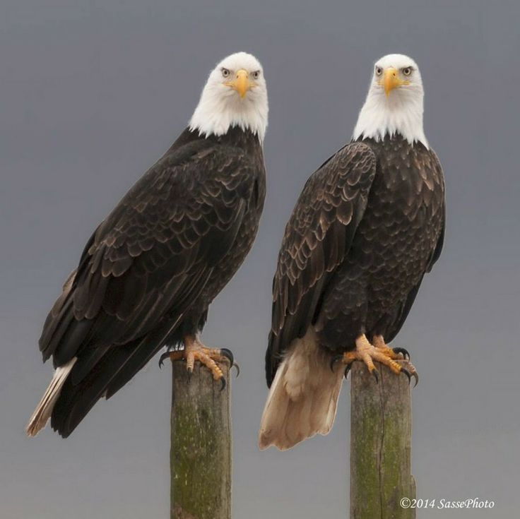 A lovely Bald Eagle Pair (Haliaeetus leucocephalus). Male and female are identical in plumage, but females are about 25 percent larger than males.
