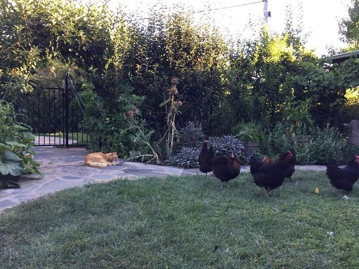#backyard chickens
