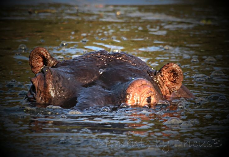 Hippo, Kruger Park Lodge, Hazyview