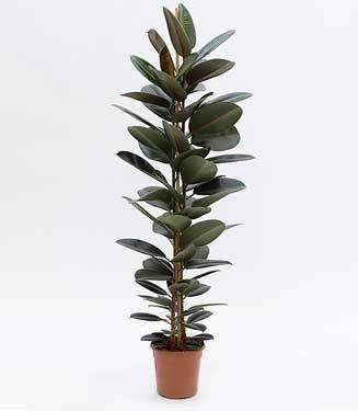Ficus Elastica - Rubber Tree