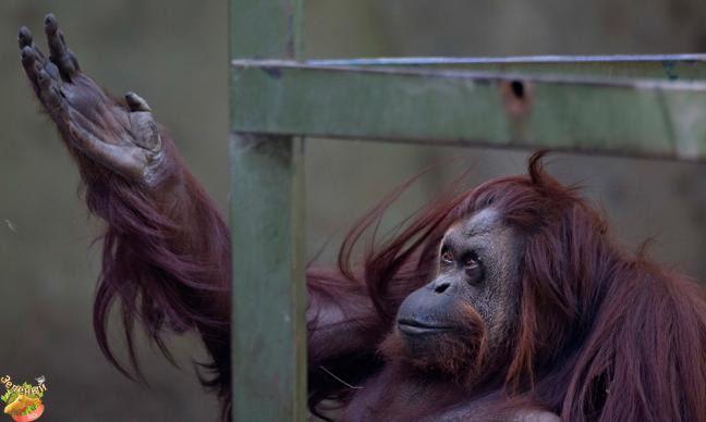 #greenelk #greenelkshop #govegan #вегетарианство #веган #веганновости  Власти Буэнос-Айреса (Аргентина) решили преобразовать зоопарк в эко-парк без животных, содержащихся в неволе, сообщила газета «La Nacion».  Буэнос-Айресский зоопарк, расположенный в районе Палермо, существует уже 128 лет.  В 1870-х годах при проектировании парка Трес де Фебреро, была выделена небольшая территория для содержания животных. После того как территория парка, в связи с ростом Буэнос-Айреса, была передана от…