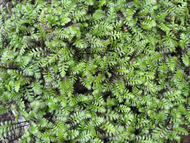 """Native ground cover Leptinella Squalida """"Platts Black"""" T.E.R:R.A.I.N - Taranaki Educational Resource: Research, Analysis and Information Network"""